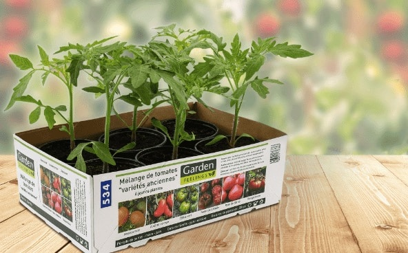Lot de 6 plants de tomates «anciennes» à 3,99 € chez Aldi